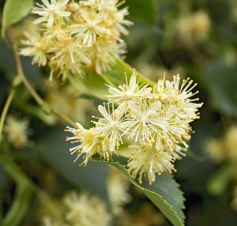 Blossoms of linden tree from close-up. Tea from blossoms is used during colds.  stock image