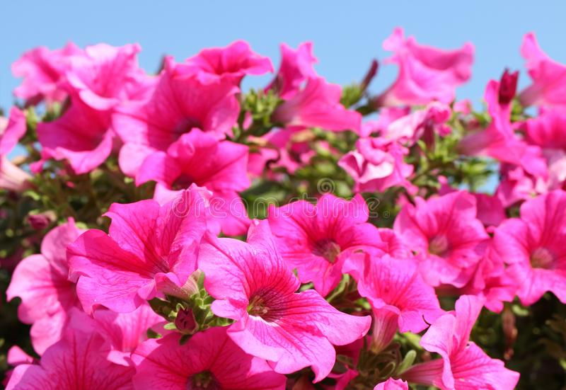 Blossoms of pink petunia isolated before bright blue sky. Beautiful summer stock image
