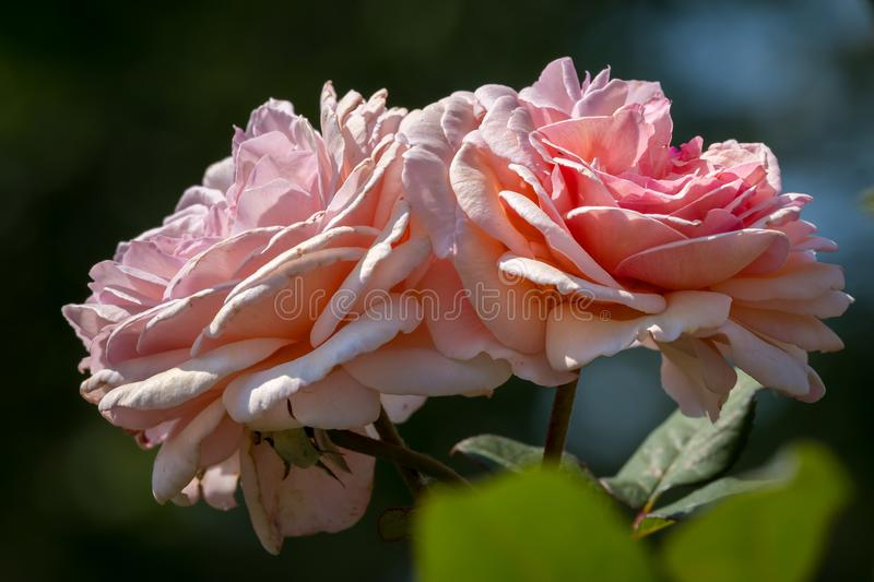 Blossoms of a pink rose on a sunny day in summer royalty free stock photos