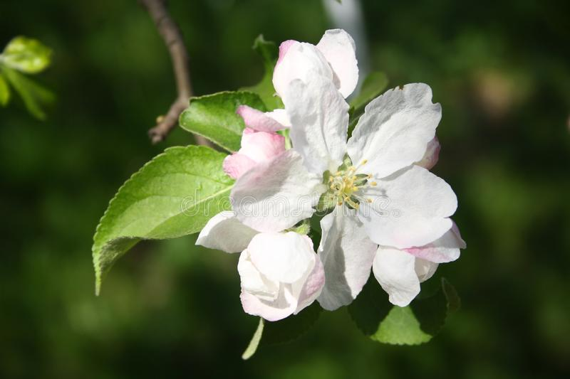 Apple tree white and pinkish flowers. The central flower of the inflorescence is called the king bloom. Blossoms are produced in spring simultaneously with the stock photography