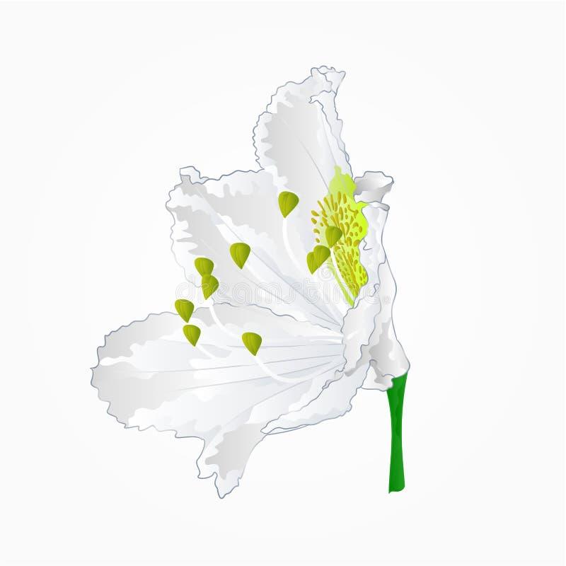 Blossoms white rhododendron eleven vector. Blossoms white rhododendron eleven Mountain shrub vector illustration vector illustration