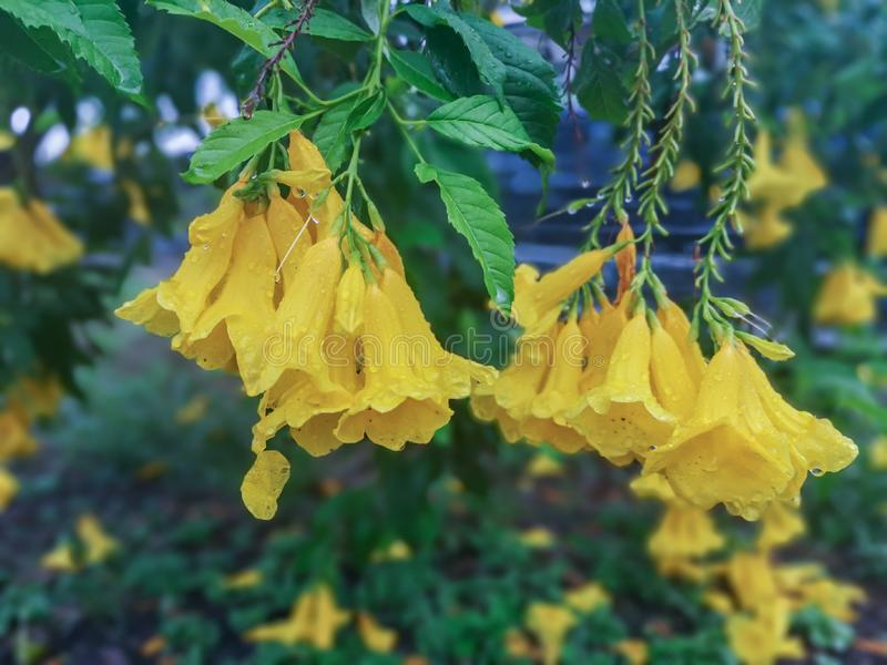 Blossoms of Yellow elder flower with rain drop.Common names include Yellow Trumpetbush,Yellow bells,ginger-thomasTecoma stans. Selective focus beautiful yellow stock photography