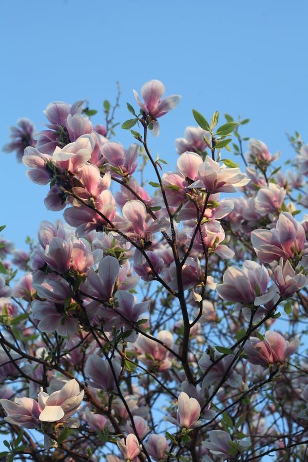 Blossomtree rosado foto de archivo libre de regalías