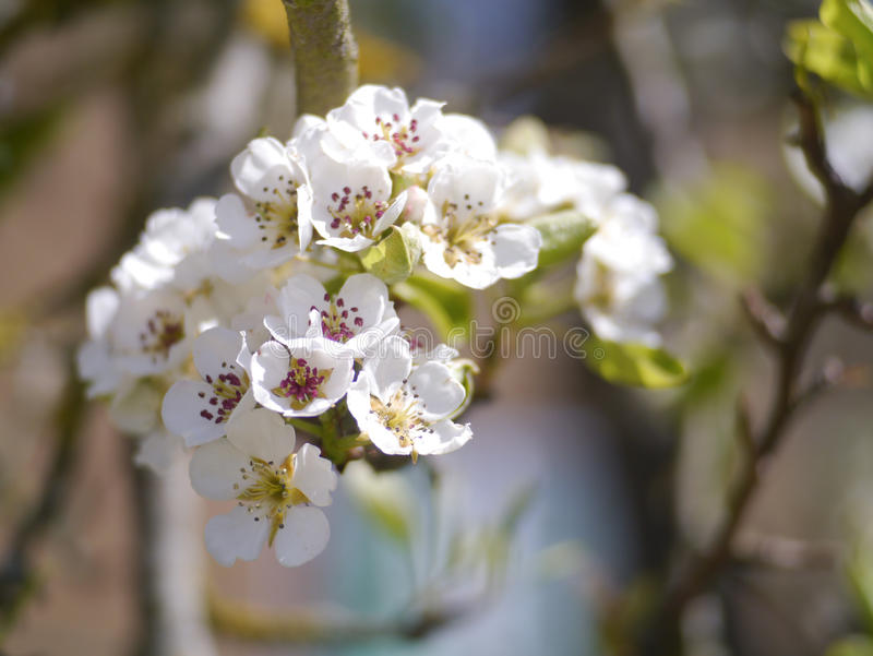 Blosson de cerise photos stock