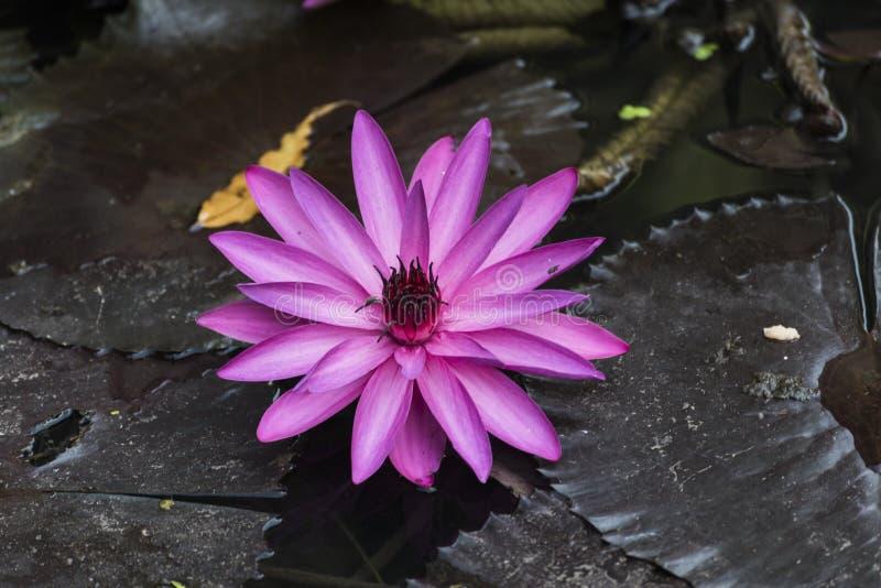 Blosson e foglie rosa di Lotus in stagno a Rajkot, Gujarat, India fotografie stock