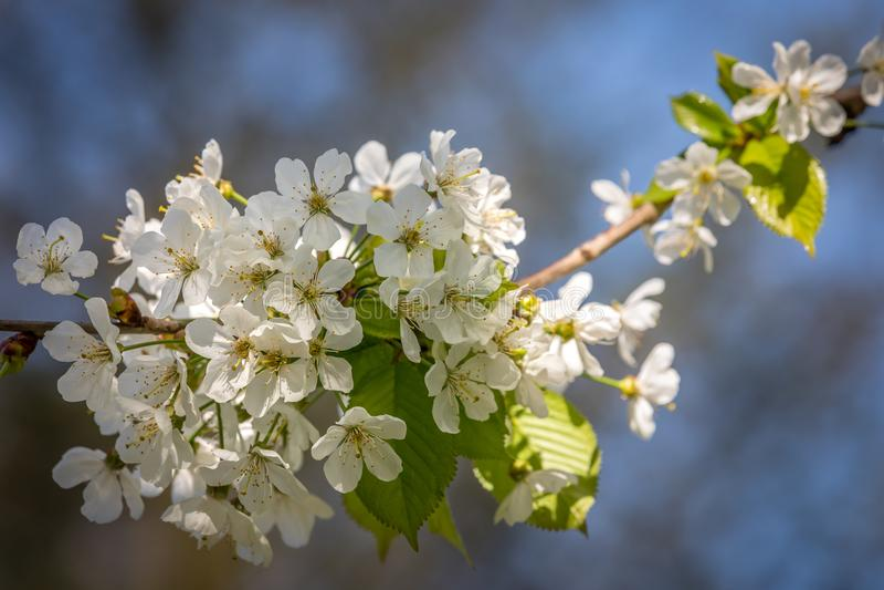 Blossum da mola foto de stock royalty free