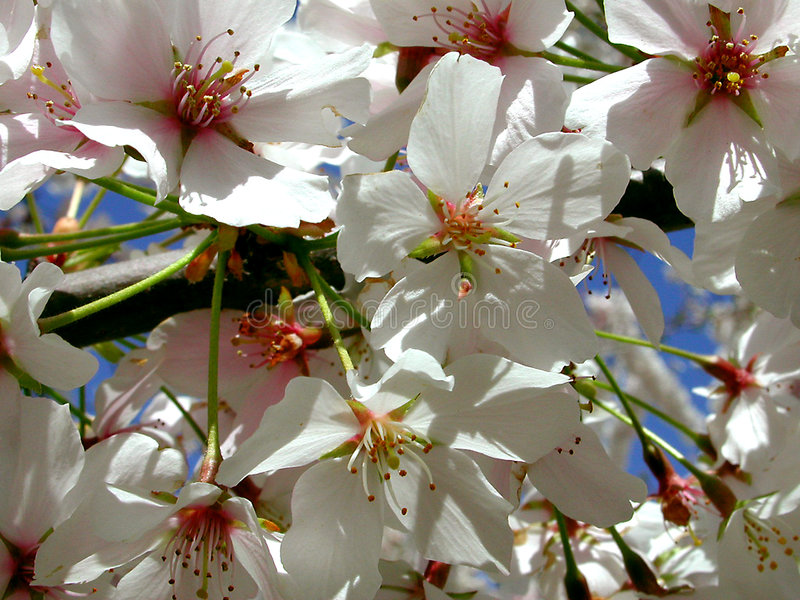 blossums樱桃 免版税库存照片