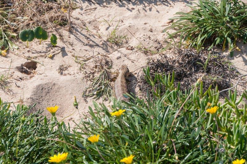 Blotched Tongued Skink jaszczurki odpoczywa na piasek diunie obraz stock