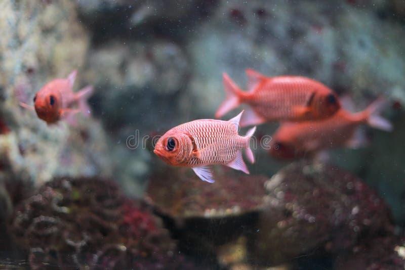Blotcheye soldierfish στοκ φωτογραφία με δικαίωμα ελεύθερης χρήσης