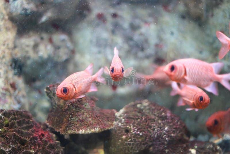 Blotcheye soldierfish στοκ φωτογραφίες με δικαίωμα ελεύθερης χρήσης
