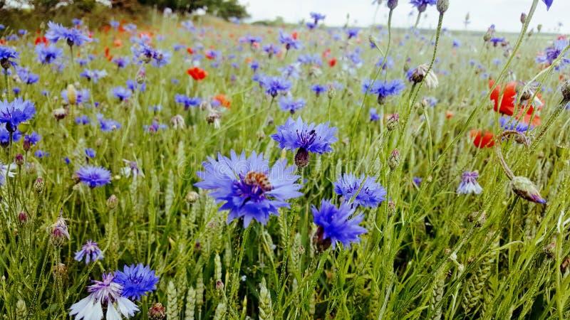 Bloue flowers fild royalty free stock photos