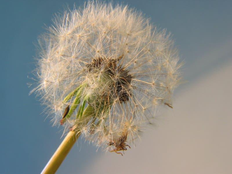 Download Blow-ball foto de stock. Imagem de macro, prados, fluff - 542722
