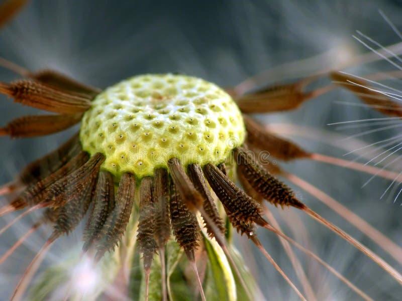 Blow-ball closeup stock images