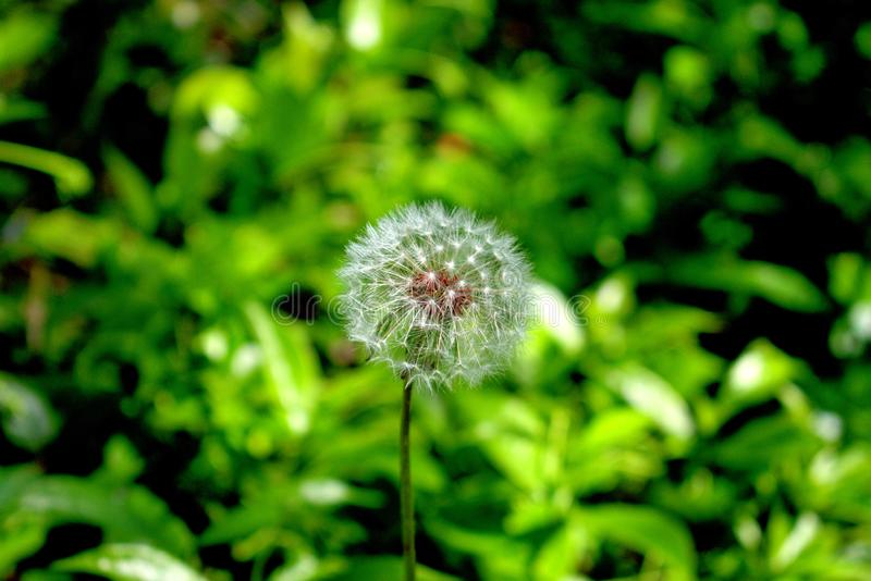 Blow on a Dandelion and Make a Wish. `Dandelion Taraxacum officinale  is a common meadow herb of the Asteraceae or sunflower family. There are about 100 species stock photography
