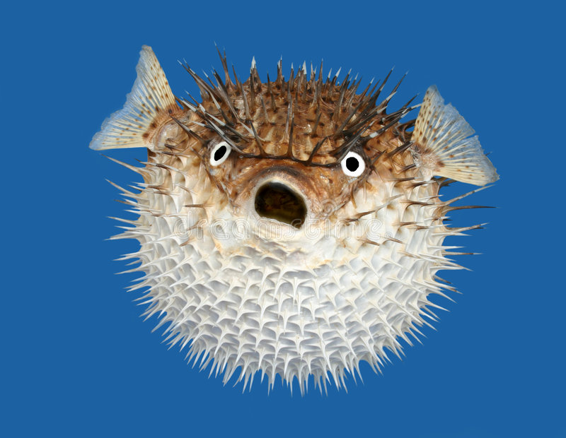Blow fish frontal view royalty free stock photos