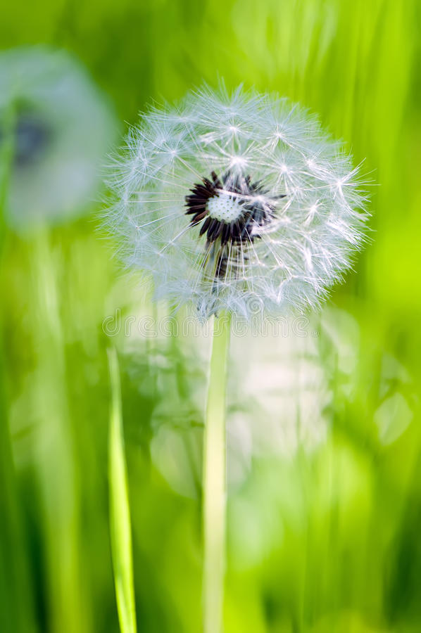 blowball łąki lato zdjęcia royalty free
