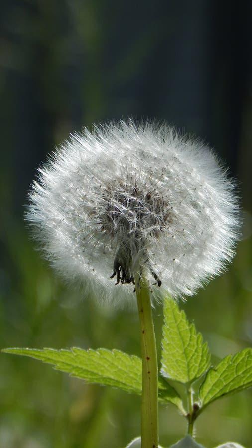 Blowball στο θερινό λιβάδι στοκ εικόνα