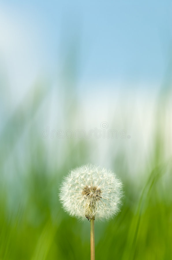 Blowball stockfoto