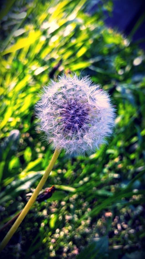 Blowball photographie stock libre de droits