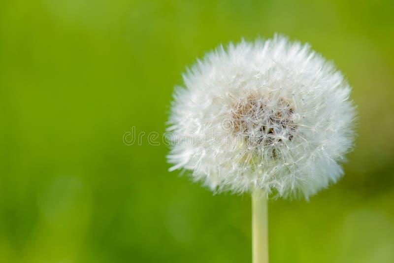 Blowball con un fondo verde fotografia stock libera da diritti