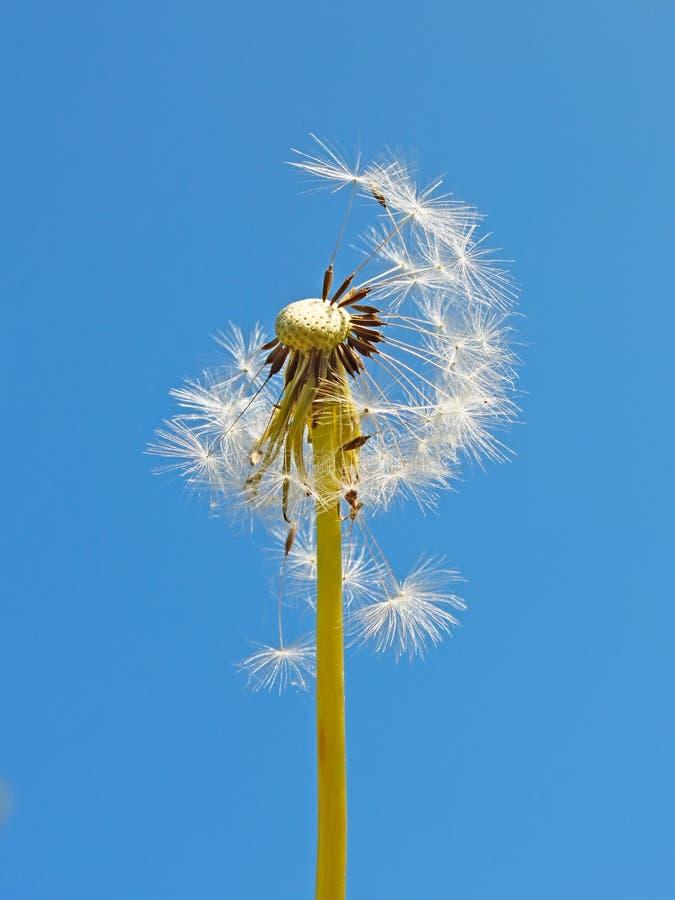 Blowball contre le ciel bleu photo stock