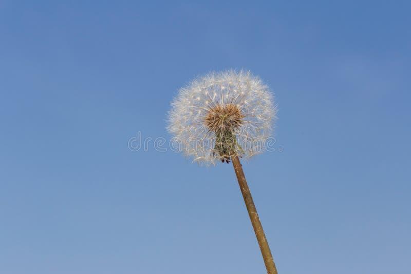 Blowball contre le ciel bleu photographie stock libre de droits