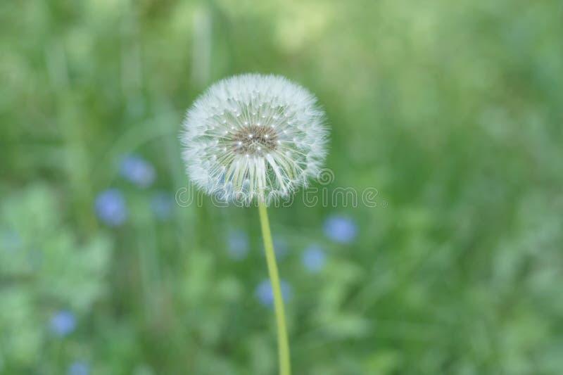 Blowball dandelion kwiat na zielonej lato łące zdjęcia stock