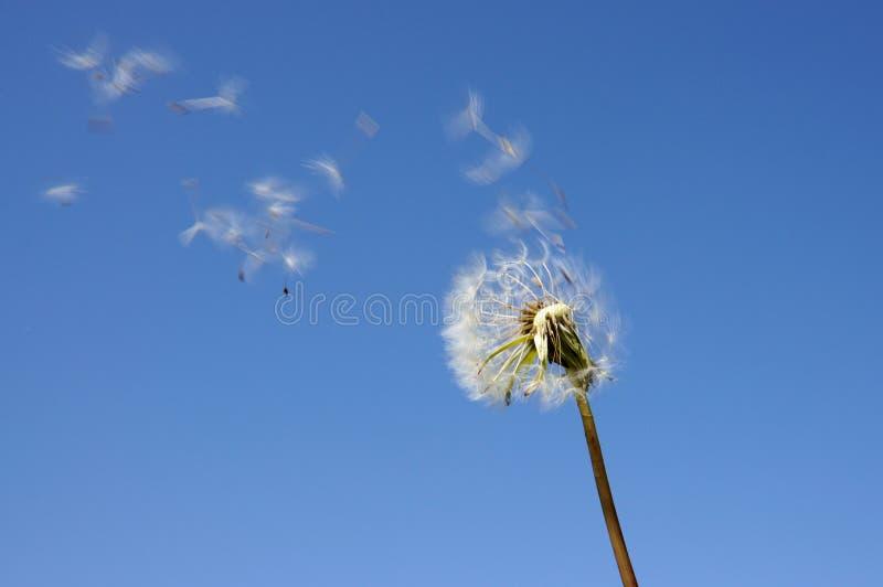 Blowball de encontro ao céu azul fotos de stock royalty free