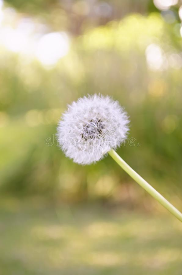 Blowball flower in the garden royalty free stock image