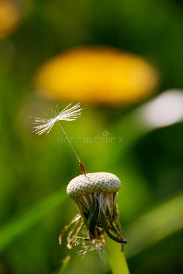 blowball op weideplatteland stock foto