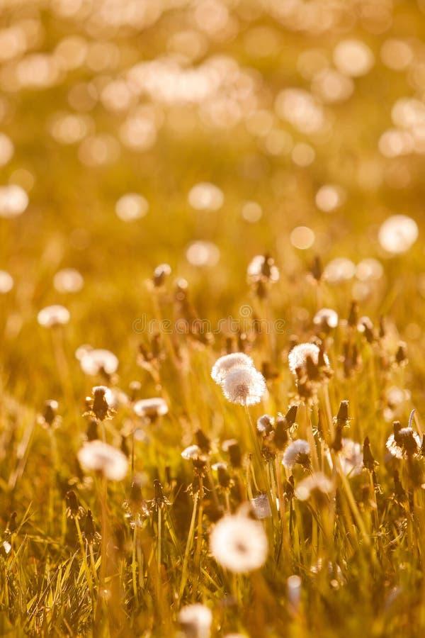 Download Blowball på äng fotografering för bildbyråer. Bild av natur - 76700211