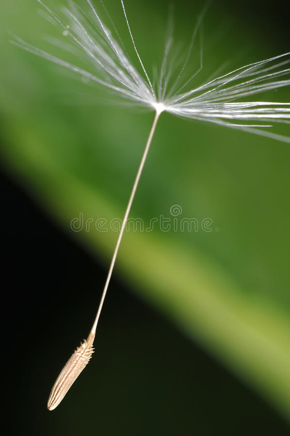 Free Blowball Seed Royalty Free Stock Images - 11569769