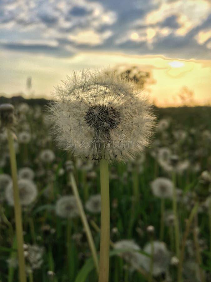 Blowball and sunset blur background. Beautiful, blossom, dandelion, grass, meadow, natural, nature, summer, sunlight, fresh, green, beauty, closeup royalty free stock photo