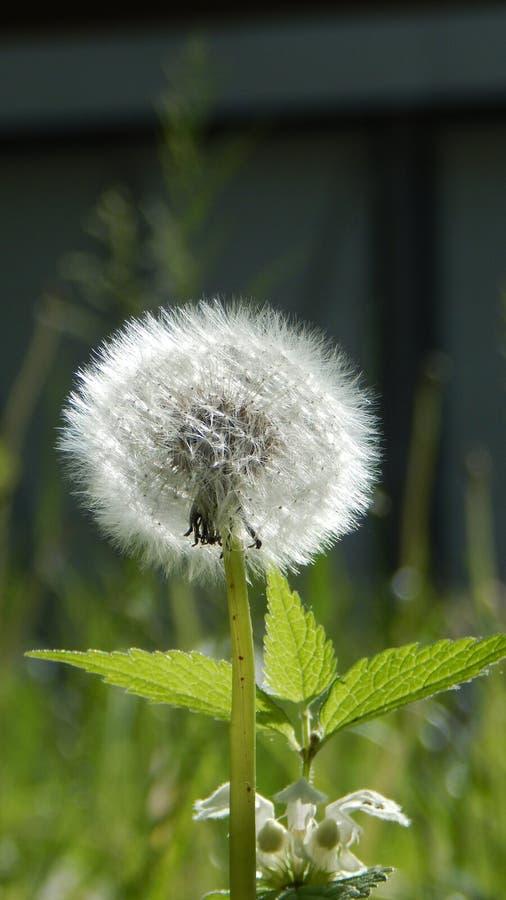 Blowball w lato łące zdjęcie stock