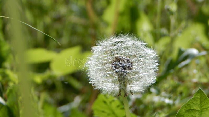 Blowball w lato łące zdjęcia stock