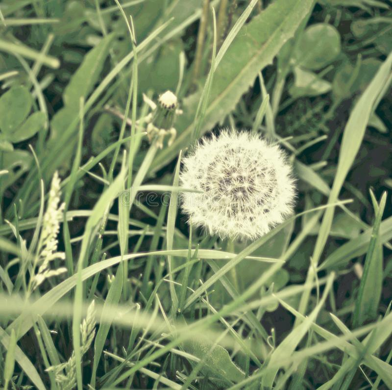 Blowball and weed. Symbol of fragility. royalty free stock photos