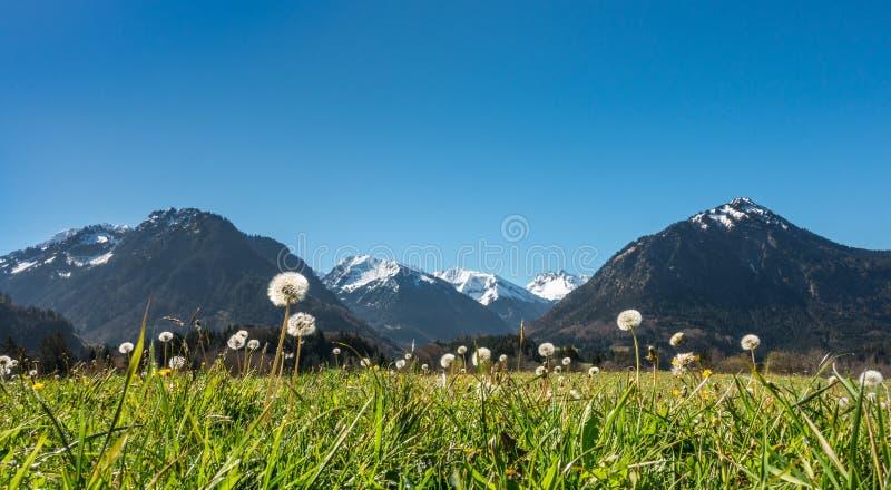 Blowballs del dente di leone in paesaggio idilliaco della montagna e chiaro cielo blu immagini stock libere da diritti