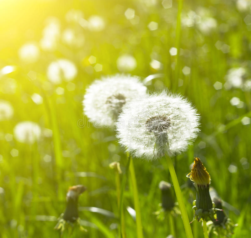 Free Blowballs On Meadow Royalty Free Stock Image - 14550176