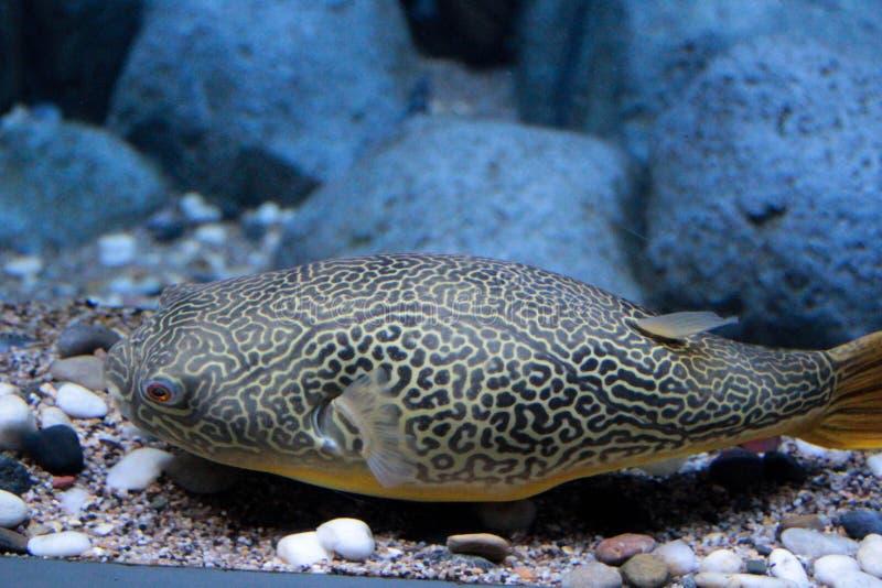 Blowfish в аквариуме стоковое фото rf