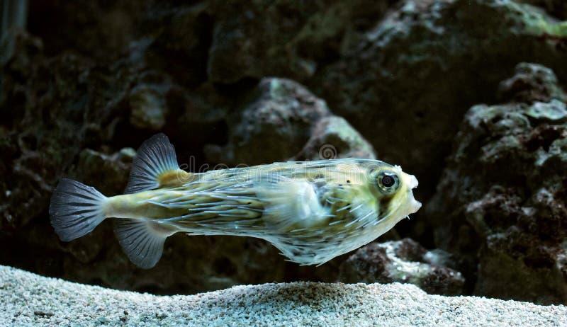 blowfish стоковые фотографии rf