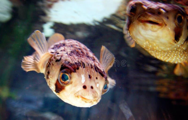 blowfish стоковое изображение