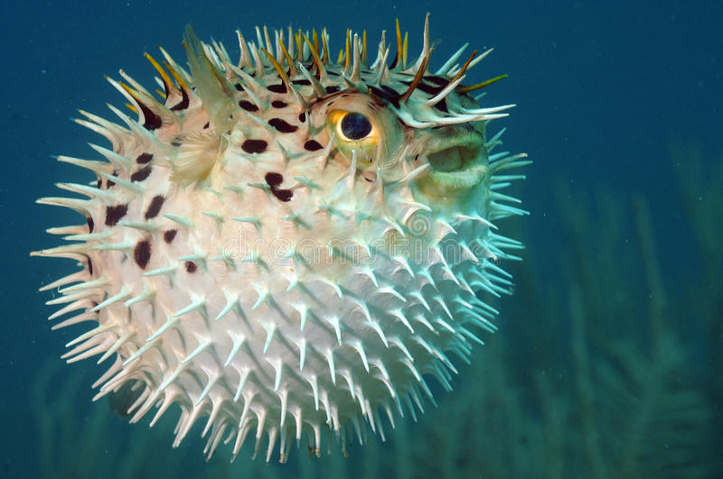 Blowfish of diodon holocanthus onderwater in oceaan stock fotografie