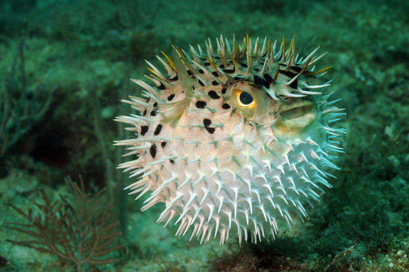 Blowfish o pesci del pesce palla in oceano fotografia stock libera da diritti