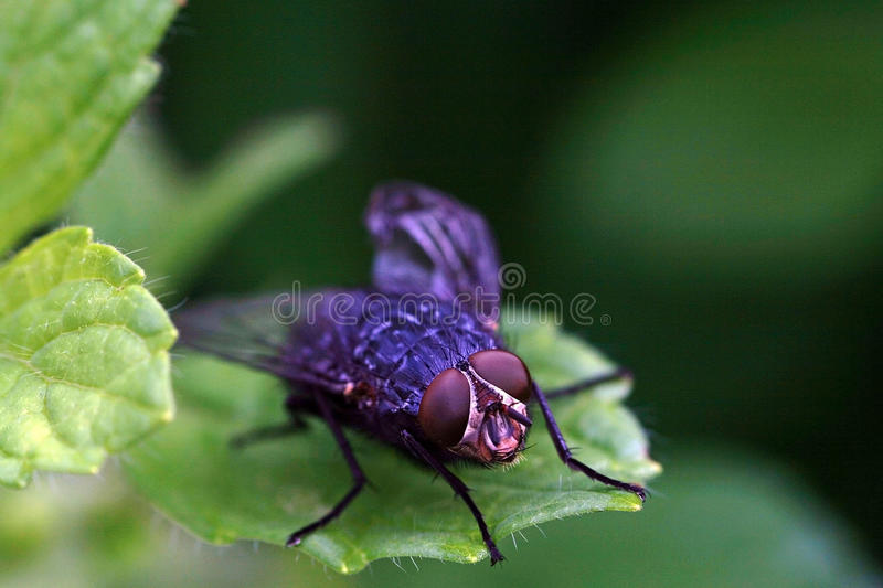 blowfly fotografia royalty free