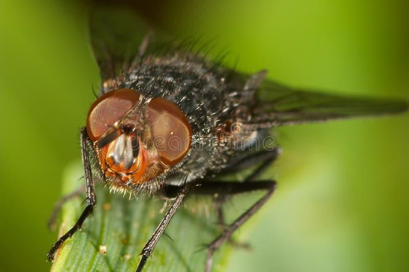 Blowfly ( sarcophaga carnaria ). Little Blowfly ( sarcophaga carnaria ) on a little branch stock photo