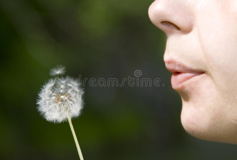 Blowing dandelion royalty free stock photography