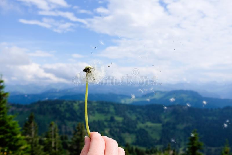 Blowing a dandelion with alps in background stock image