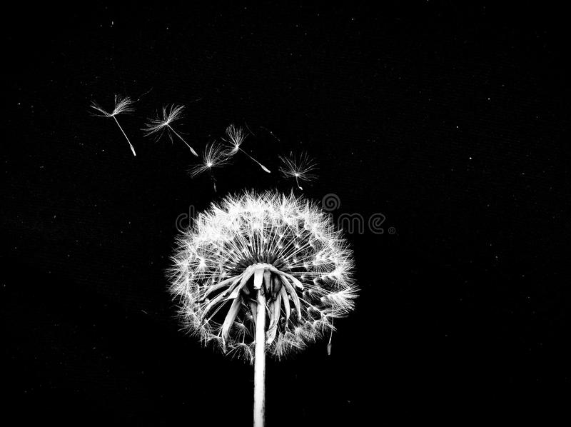 Blowing Dandelion Seeds. Black and white image of a single dandelion flower with a black background and seeds starting to blow away stock image