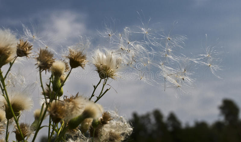 Blowing. Flower , landscape, wind, flying, dandelion, sky,plants, seeds, lightness, airiness, rush, breath of wind, ease flight, the way to a new life , hot royalty free stock image