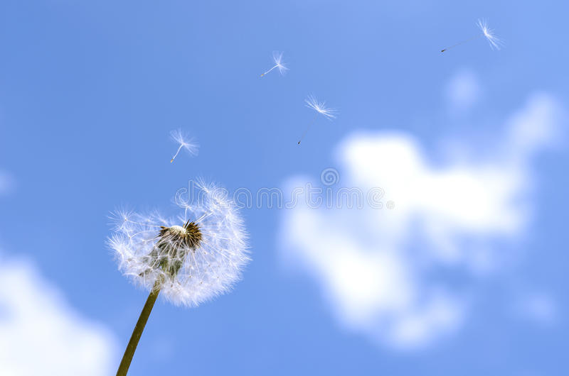 Blown dandelion. On a blue sky royalty free stock images